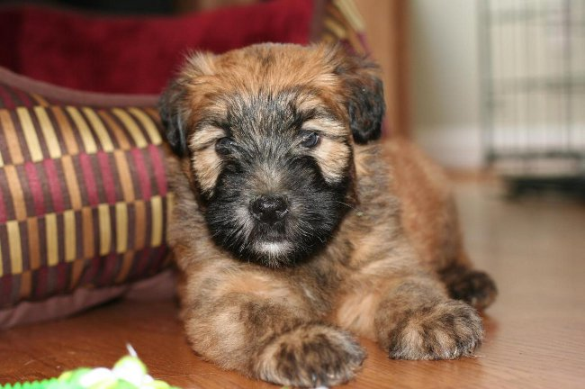 Terrier Wheaten Irlandais Coated Wheaten